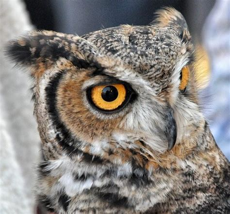 Owl Symbolism Learn Tattoo Meanings And Why They Re Owl Meanings