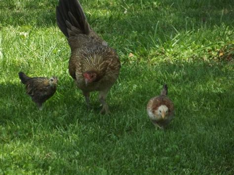 can i raise chickens in my backyard can i have chickens in my backyard 10 things i ve learned