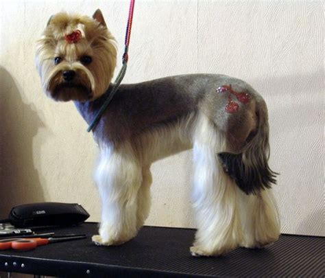 yorkie tails 17 best yorkies with tails undocked yorkies images on grooming