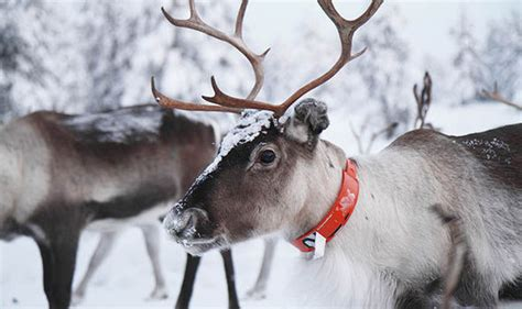 best 28 where can i see reindeer this christmas best