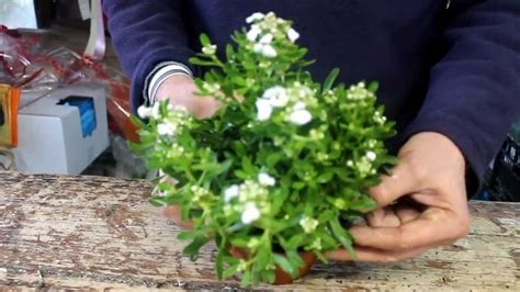 piante fiorite in inverno le piante fiorite che resistono al gelo