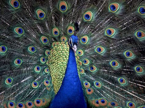 peacock desktop wallpaper funny animal