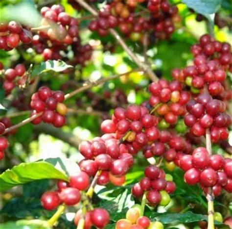 Andung Sari anim agro technology kopi varieti di indonesia