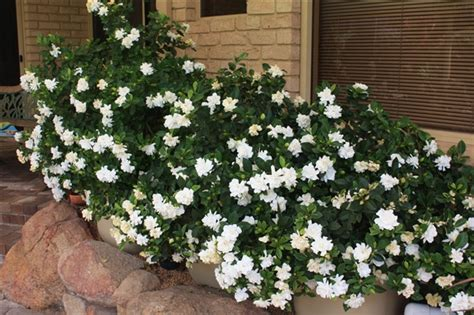 daisy hardy hybrid gardenia