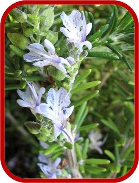 cura rosmarino in vaso rosmarinus officinalis rosmarino consigli coltivazione