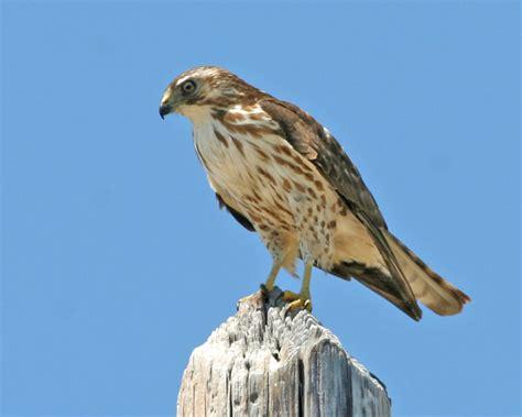 broad winged hawk photos birdspix