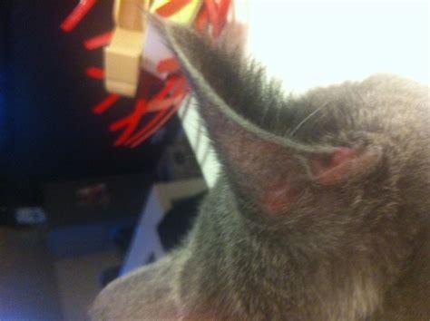 oreille forum soigner chat chartreux wamiz