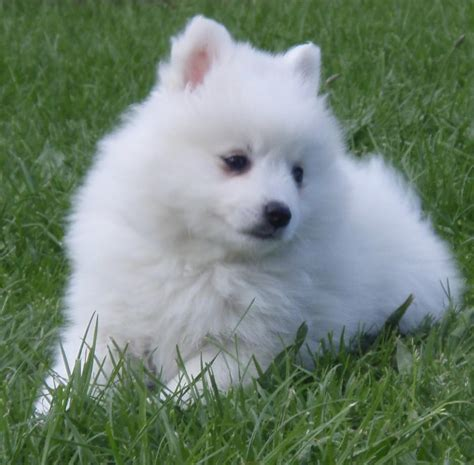 eskimo spitz puppy the german spitz is actually a satisfied intelligent friendly there ought to be