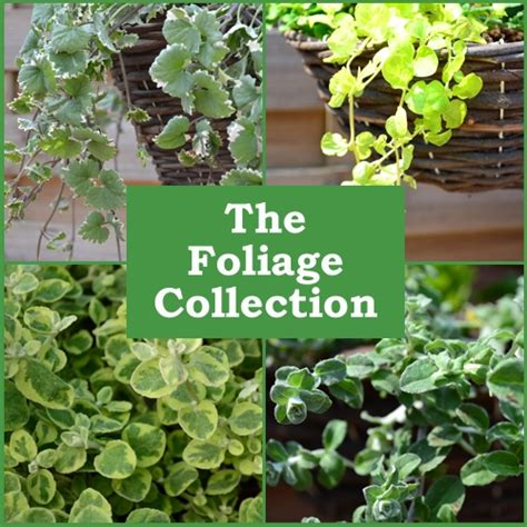 foliage plants for hanging baskets plants foliage 6 pack of plants babyplants
