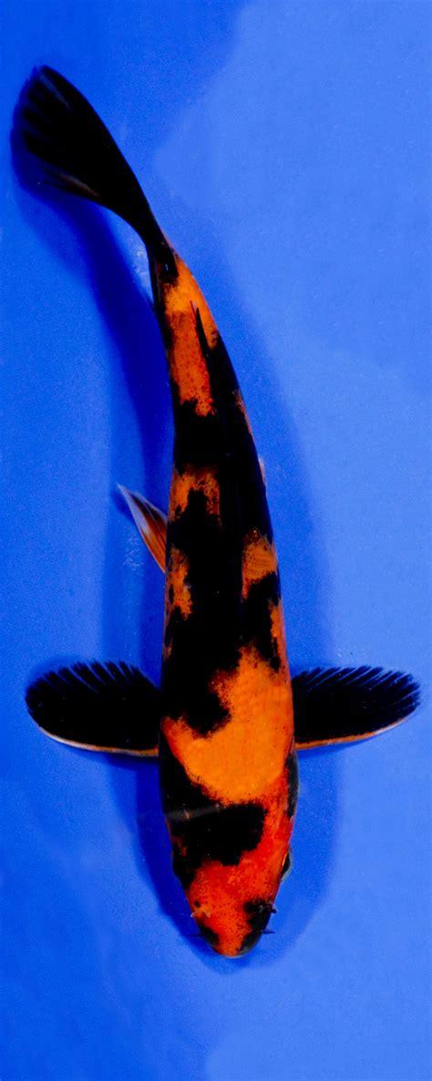 Koi Variety Guide Blue Ridge Fish Hatchery Blue And Black Koi