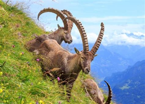 #alpineibex | explore alpineibex on deviantart