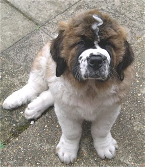 haired st bernard puppies bernard puppies breeders st bernards