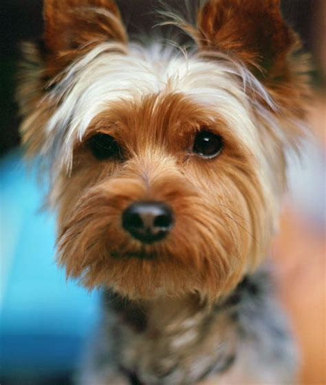 stop yorkie barking yorkie barking image search results
