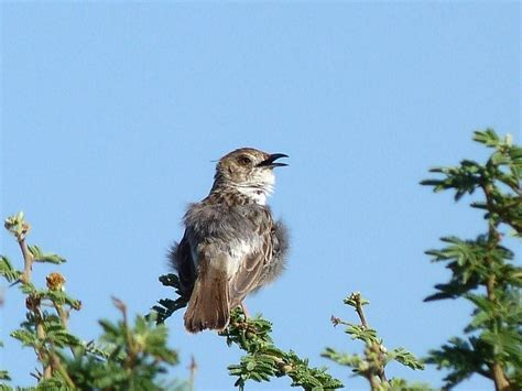 safari ecology common birds rattling cisticola and why