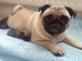Pugs For Sale In Pug Puppies For Sale Bolton Greater Manchester Pets4homes