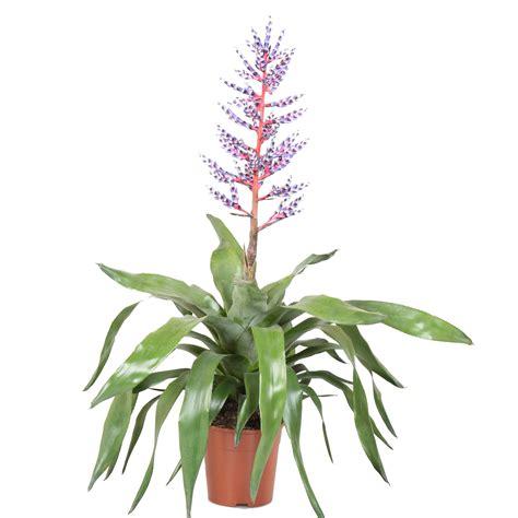 buy bromeliad aechmea blue rain indoor plants burford