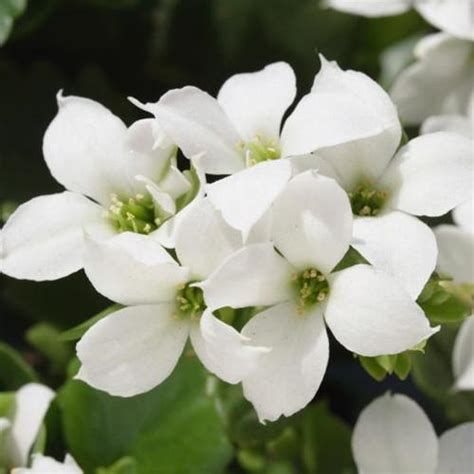 Plante Grasse A Fleur Blanche by Plante Grasse Fleurs Blanches
