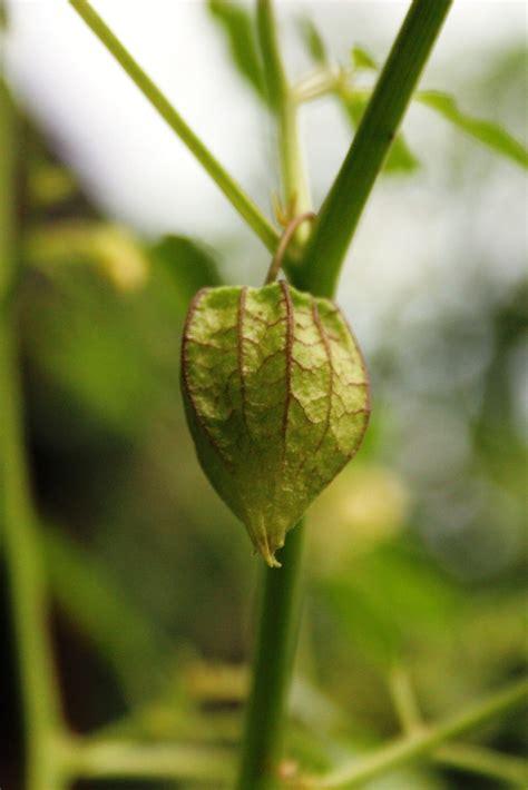 ciplukan tanaman liar  bermanfaat  blog  create
