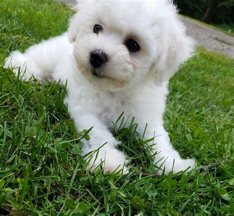 bichon frise puppies mn shichon puppies shihtzu and bichon mix shichon breeders rachael edwards