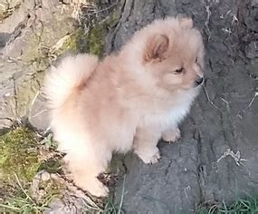 baby pomeranian for sale in singapore view ad pomeranian puppy for sale oregon independence usa