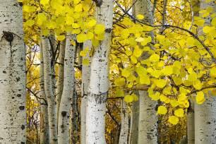 Sound Curtain Aspens At Autumn Photograph By Andrew Soundarajan