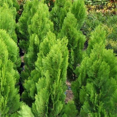 Lu Hias Untuk Pohon Natal tanaman cemara kipas
