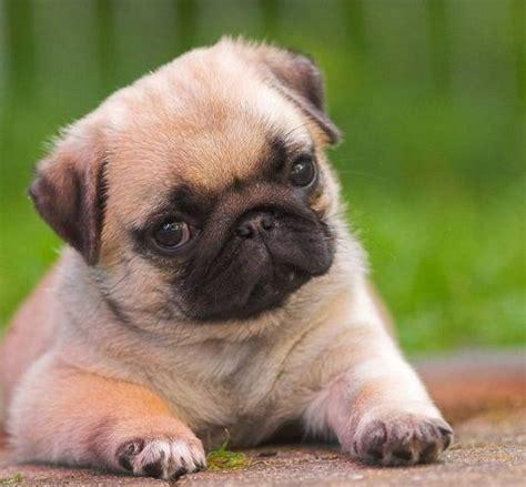 pug sneezing treatment best 25 raza pug ideas on perro raza pug pugs adorables and todo perros