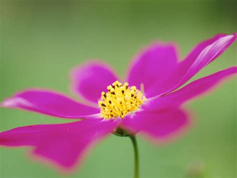 green wallpaper with pink flowers cosmos flower image pink flower on green background