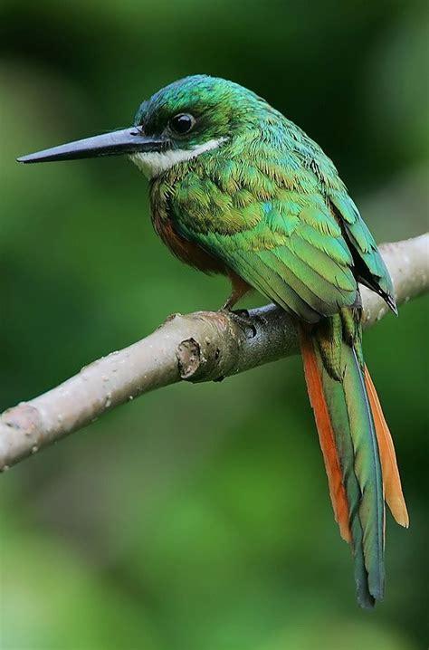 rufous tailed jacamar galbula ruficauda male these