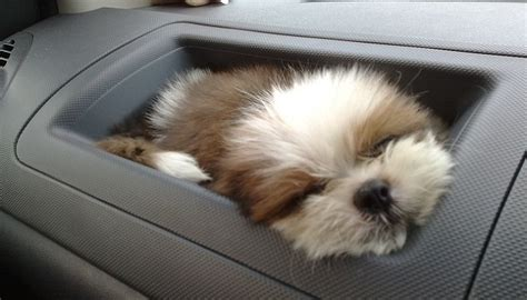 shih tzu friendly 16 reasons shih tzus are not the friendly dogs everyone says they are