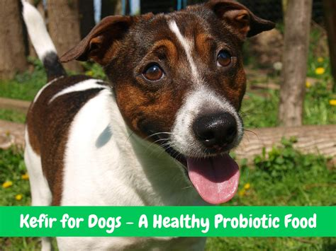 kefir for dogs kefir for dogs a healthy probiotic food for your pet