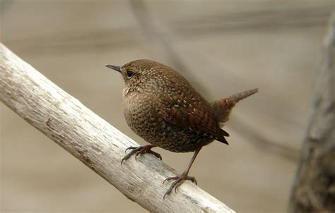 winter wren song call voice sound