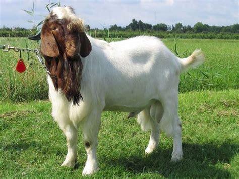 Kambing Kurban boer goat