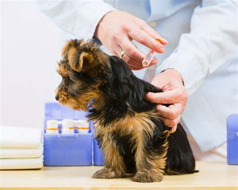 getting a puppy vaccinations general health care dogs guide omlet uk