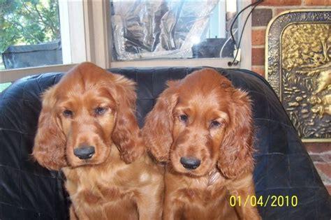 irish setter dogs for sale australia eirean irish setters irish setters australia
