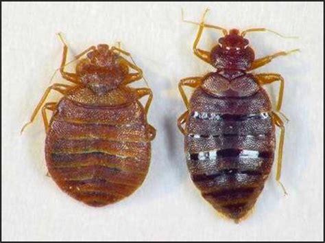 male bed bug zwalczanie pluskwy domowej usługi erpol