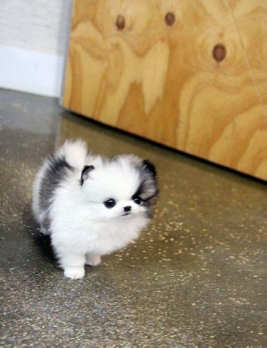 black and white mini pomeranian best 25 teacup dogs ideas on teacup breeds teacup puppies and