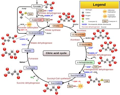Catabolic Phase Detox by Biochemistry 08 The Citric Acid Cycle And The Electron