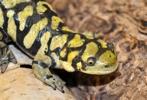 tiger salamander the biggest animals kingdom