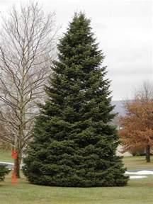 fir tree softwood fir tree timber
