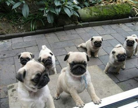 what colors do pugs come in pug puppies may or may not be real dogs 10 photos thatmutt a