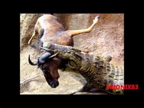 imagenes de animales furiosos cocodrilos cazando imagenes de cocodrilos cazando