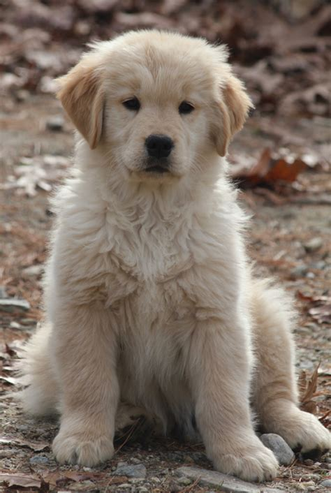 golden retriever breeders ma golden retriever breeder upton ma photo