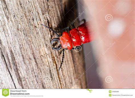 bed bugs in wood red bug and wood royalty free stock images image 24085989
