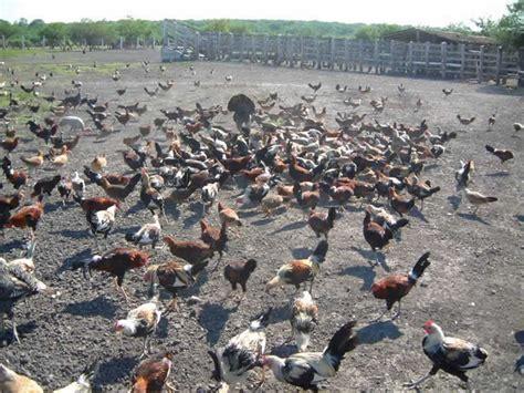 fotos de penes finos gallos y mas venta de gallos finos car interior design
