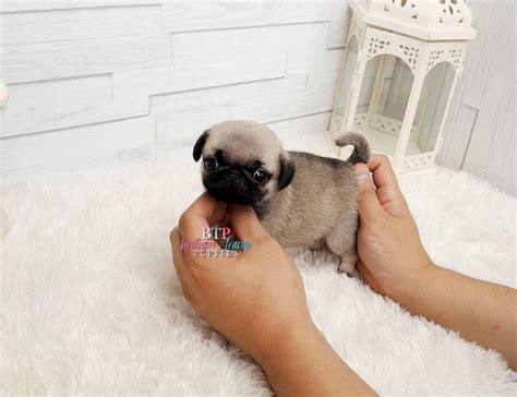 teacup pug grown beautiful micro teacup pug available expecting 5 pounds grown absolute