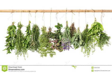 hanging herbs varios fresh herbs hanging isolated on white stock photos