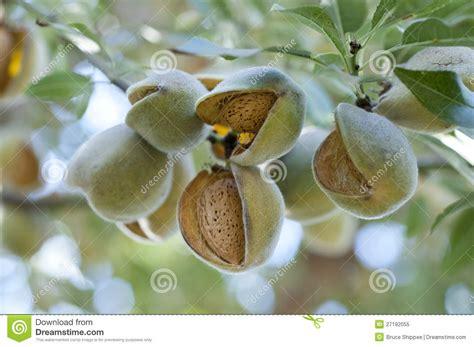 immagini di sull albero mandorle sull albero immagine stock immagine di alimento