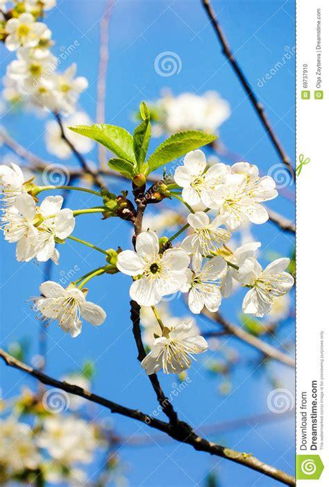 fiori di ciliegia fiori di ciliegia contro un cielo fotografia stock
