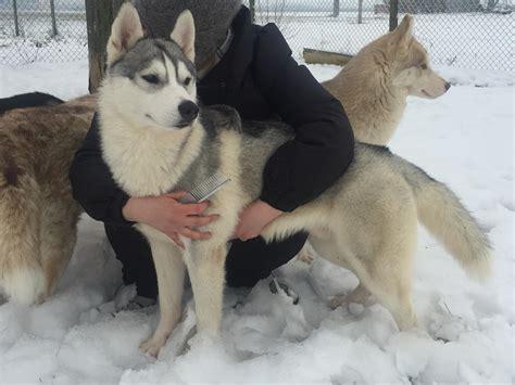 alimentazione siberian husky siberian husky all arielle s foto 326 281956